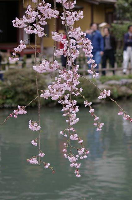 桜の兼六園~金沢_d0043136_2152393.jpg