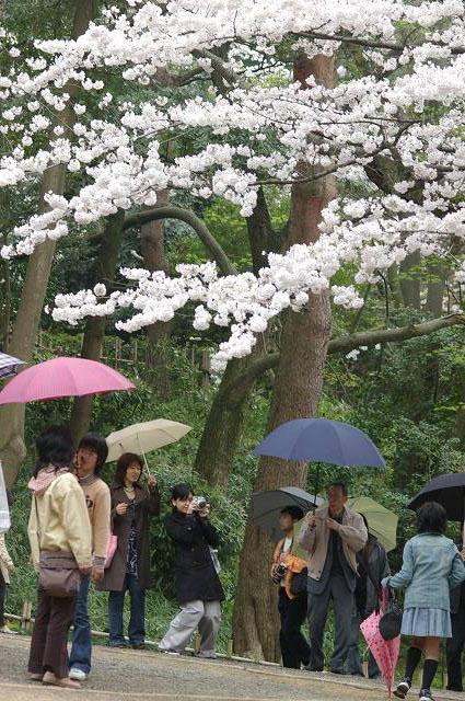 桜の兼六園~金沢_d0043136_2153594.jpg