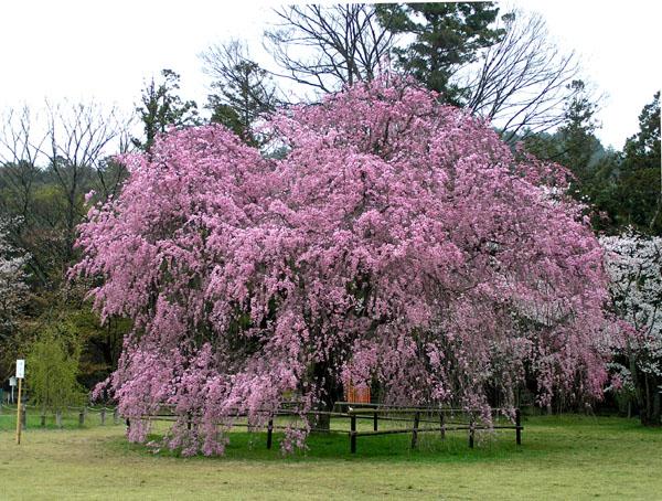 上賀茂神社と鴨川ーー花の_e0048413_22535386.jpg