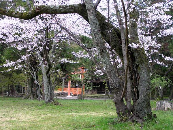 上賀茂神社と鴨川ーー花の_e0048413_22541479.jpg