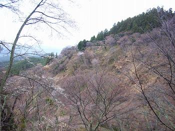 吉野の山桜_c0019551_12193133.jpg