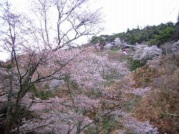 吉野の山桜_c0019551_12312753.jpg