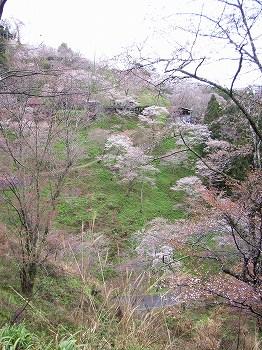 吉野の山桜_c0019551_12321370.jpg