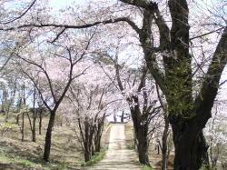 谷戸城跡の桜、ただ今満開♪_f0019247_1722225.jpg