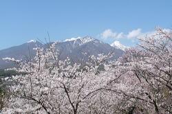 谷戸城跡の桜、ただ今満開♪_f0019247_172675.jpg