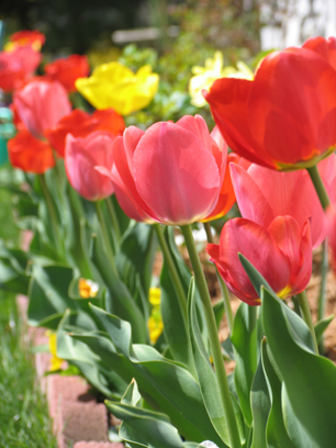 チューリップの花が~_e0050322_8303145.jpg