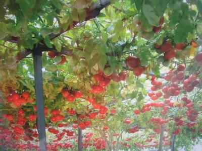 トマトの大木_a0008185_1133373.jpg