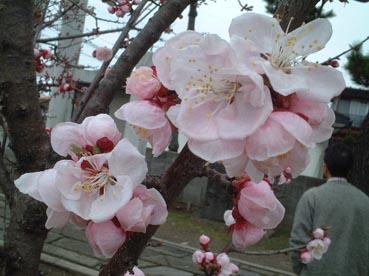 梅の開花_f0019498_21442943.jpg