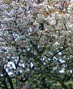 キャベツはいつでも収穫可能(2006・4・22)_c0014967_121344.jpg