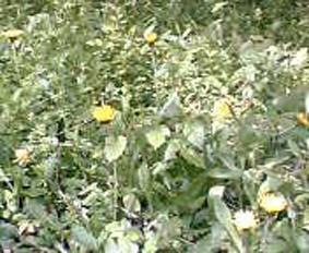 キャベツはいつでも収穫可能(2006・4・22)_c0014967_1532572.jpg