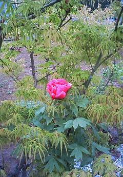 ボタンの花  4/23_e0029584_16505579.jpg