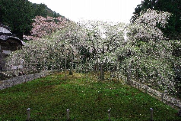 桜の常照皇寺_e0051888_93511.jpg