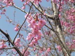 風路周辺の桜、ただ今5分→8分咲き_f0019247_11212971.jpg