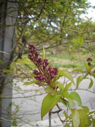 4月の庭&カフェエプロン。_e0086738_14321419.jpg
