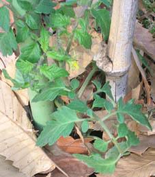 トマト、ナス、キュウリなどの苗の植え付け完了!(4・25)_c0014967_20524482.jpg