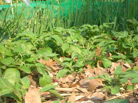 トマト、ナス、キュウリなどの苗の植え付け完了!(4・25)_c0014967_21123854.jpg