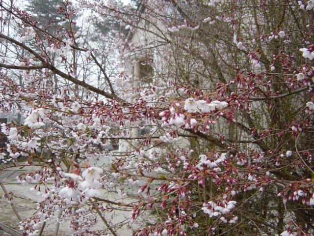 やっと桜の開花宣言_f0064906_11371579.jpg