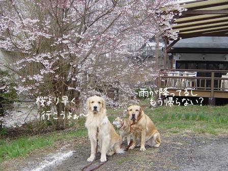 やっと桜の開花宣言_f0064906_11374249.jpg