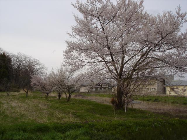 桜満開。_e0019167_8261865.jpg
