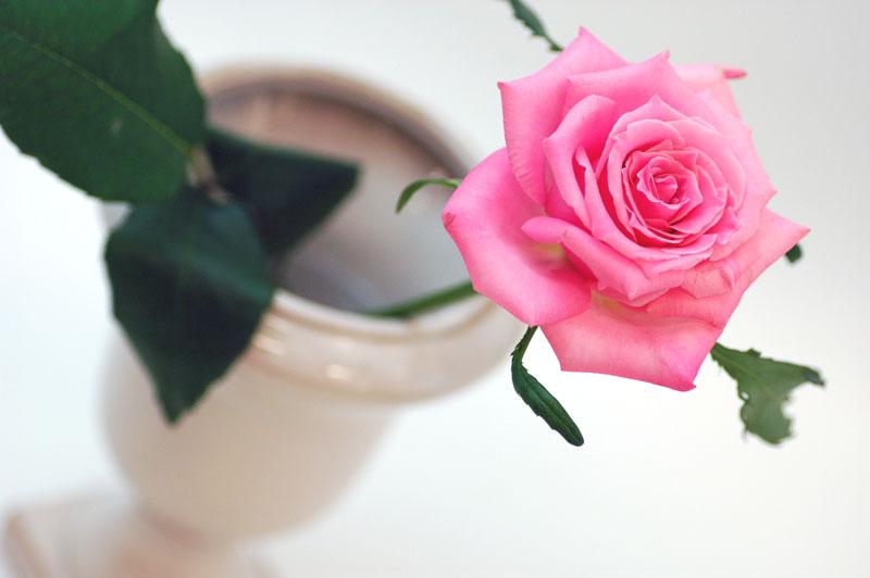 バラ バニティ ピンク