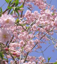 いまさらですが、しだれ桜。_f0038336_8183867.jpg