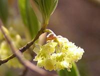 植物観察会2006年春・スミレ・サクラ・クロモジ_f0019247_0223729.jpg