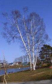 白樺を美しく感じます_c0062295_22534441.jpg