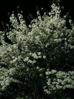 夜桜~_d0009833_128104.jpg