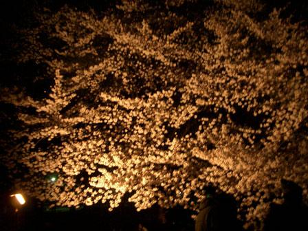 夜桜_e0064461_1741088.jpg