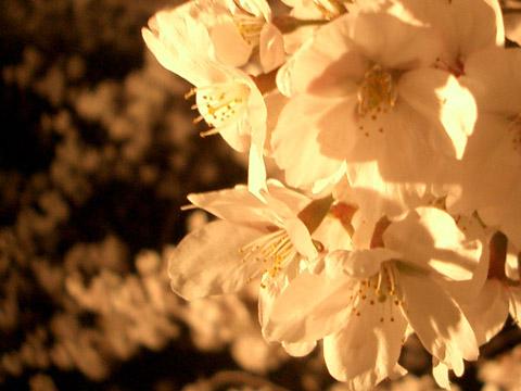 夜桜_e0064461_17415224.jpg