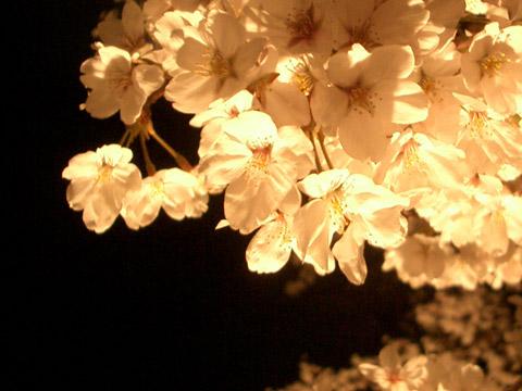 夜桜_e0064461_1742919.jpg