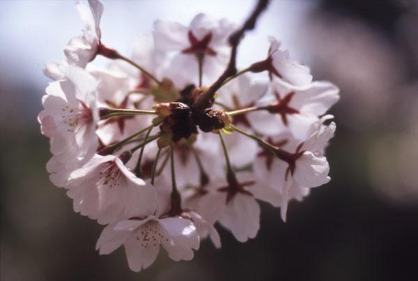 Sakura -Standard Macro-_b0081177_0494367.jpg