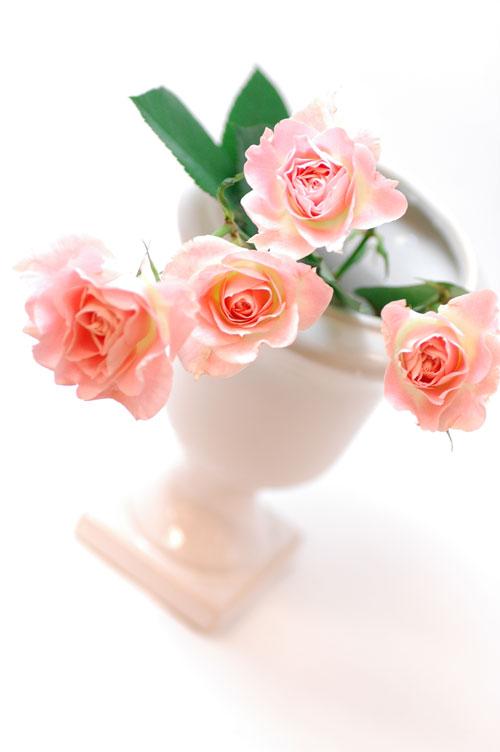 スプレーバラ センセーション ピンク