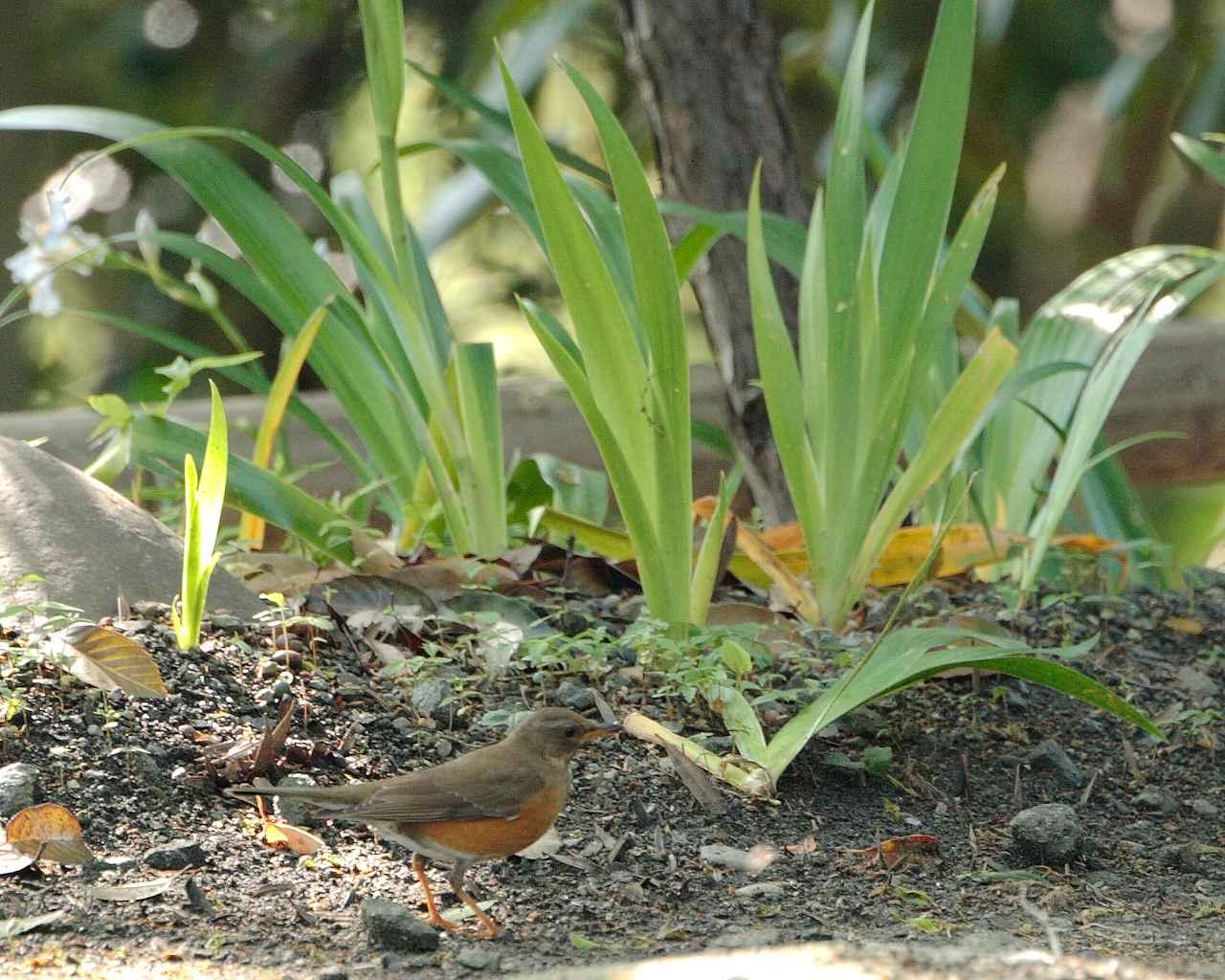 厚木市の青い鳥、赤い鳥、黄色い鳥(全て壁紙あり)_f0105570_21234045.jpg