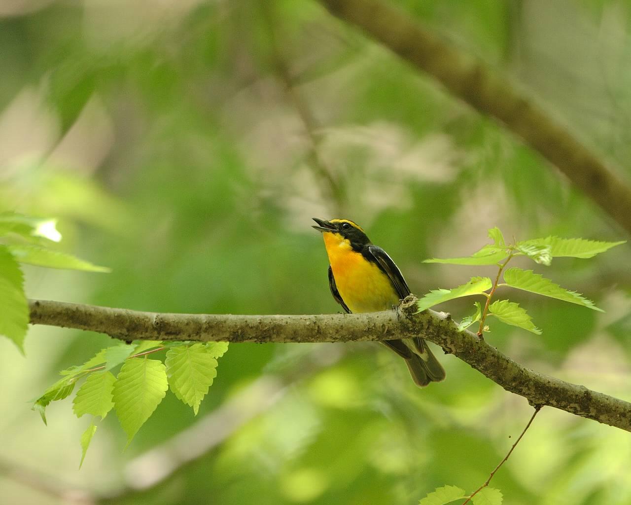 厚木市の青い鳥、赤い鳥、黄色い鳥(全て壁紙あり)_f0105570_21253375.jpg