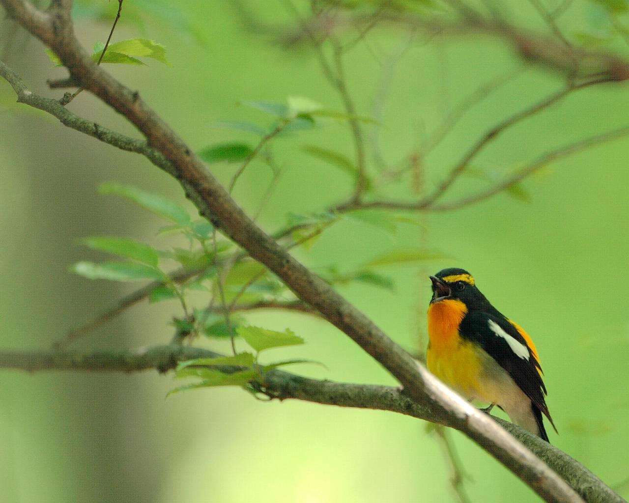 厚木市の青い鳥、赤い鳥、黄色い鳥(全て壁紙あり)_f0105570_2125795.jpg
