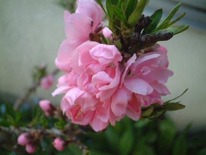 桃の花_f0019498_20155236.jpg