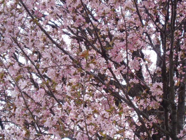 大山桜_e0046543_22412911.jpg