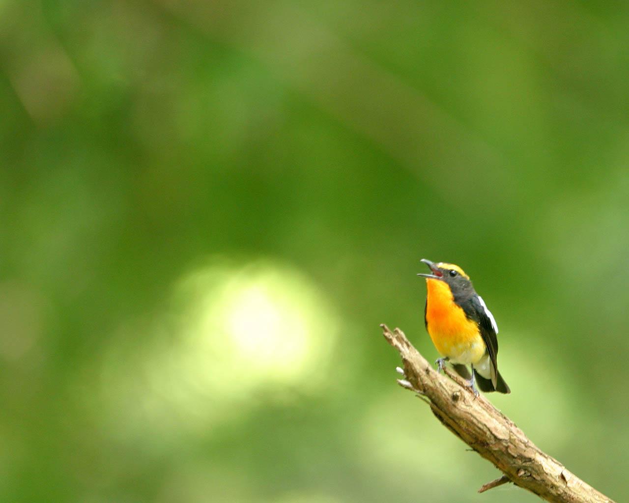 神奈川県大山の青い鳥と黄色い鳥(野鳥の壁紙2枚)_f0105570_17554018.jpg