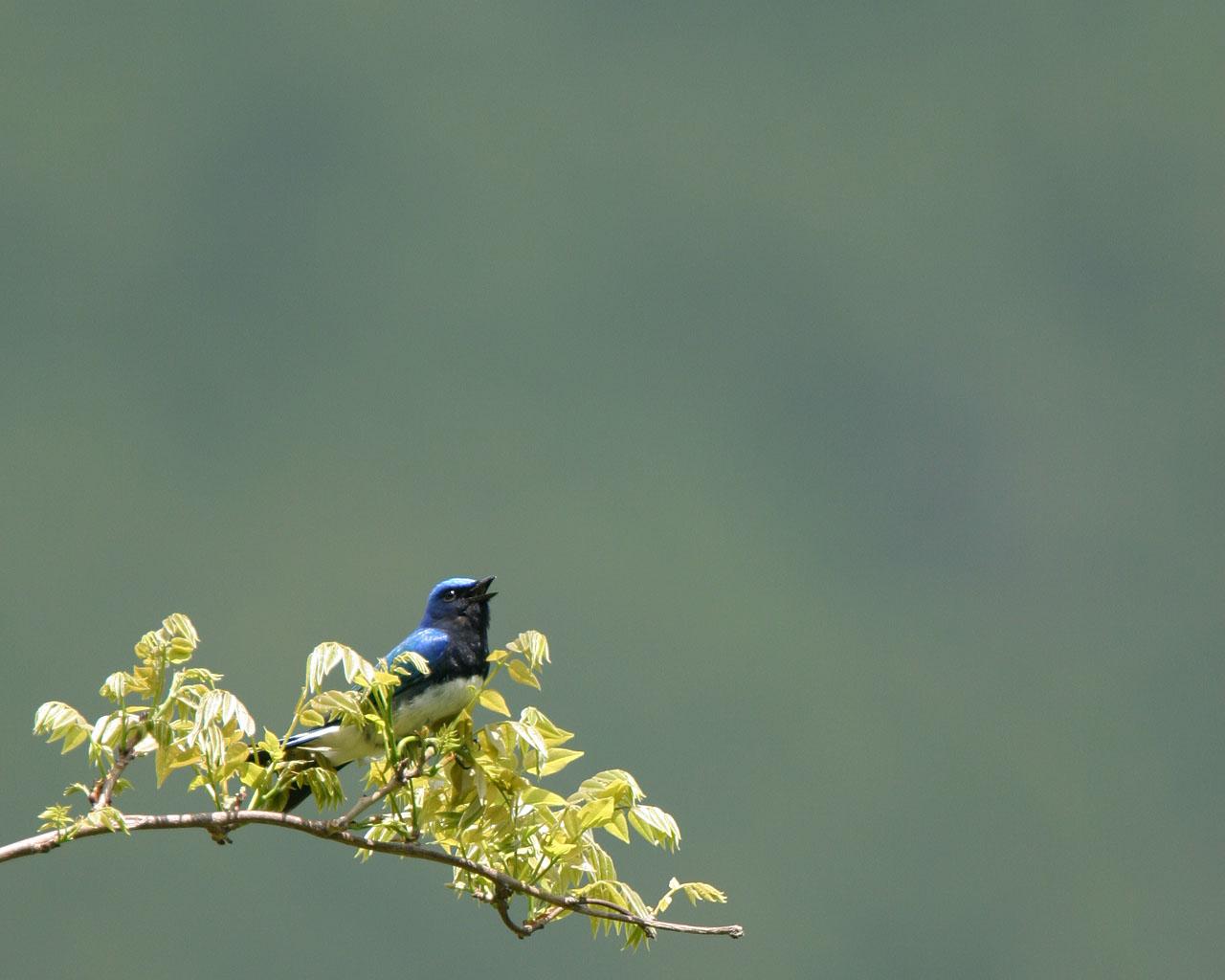 神奈川県大山の青い鳥と黄色い鳥(野鳥の壁紙2枚)_f0105570_1755895.jpg