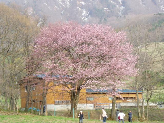 大山桜_e0046543_9384386.jpg