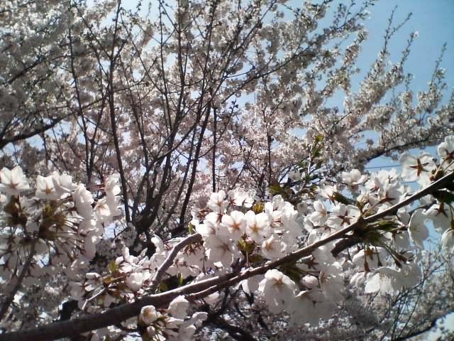 桜咲く北志賀_f0053060_10531758.jpg
