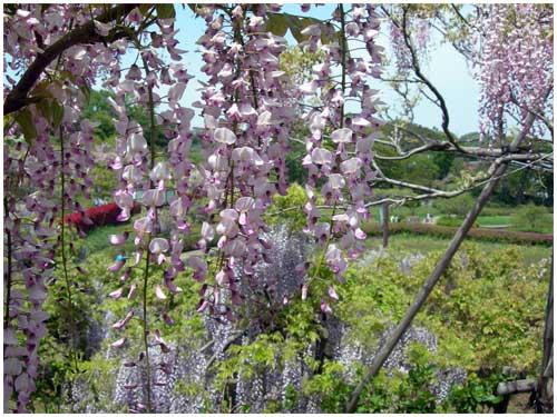 藤の花その2