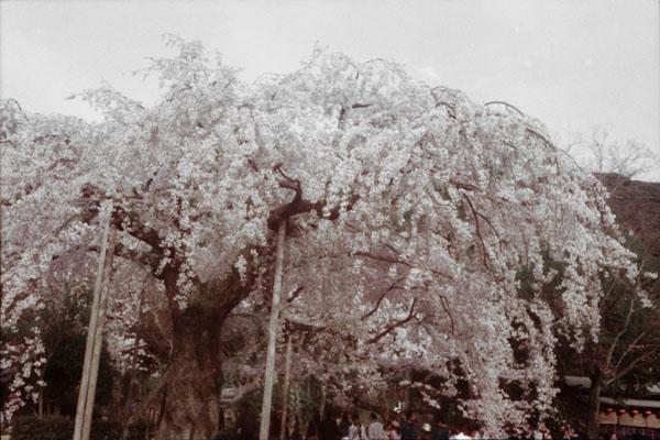 Sakura -Lost color-_b0081177_17481849.jpg