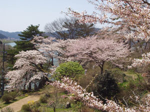 桜 さくら サクラ_b0058290_1134318.jpg
