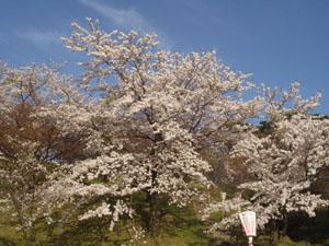 桜 さくら サクラ_b0058290_1137842.jpg