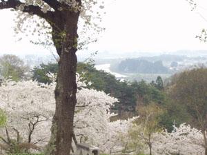 桜 さくら サクラ_b0058290_11391756.jpg