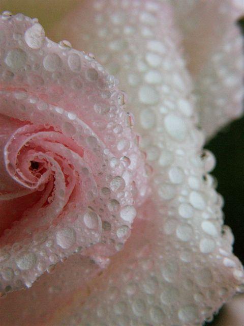 Raindrops on Roses。_e0044929_726133.jpg