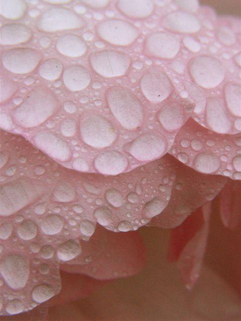Raindrops on Roses。_e0044929_7271373.jpg
