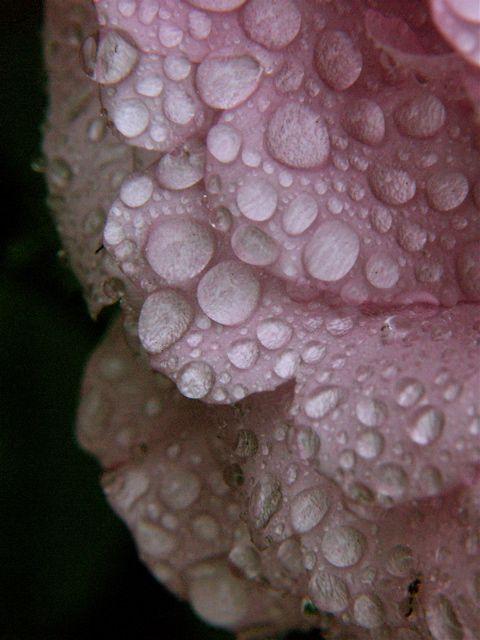 Raindrops on Roses。_e0044929_7273767.jpg